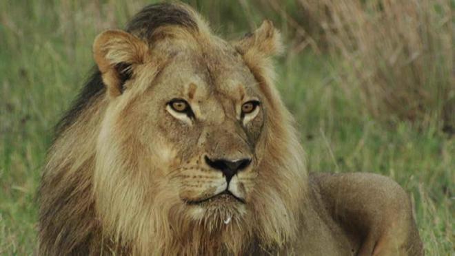 Aslanlar: Büyük Avcılar (Lions the Hunt for Survival)   Belgesel