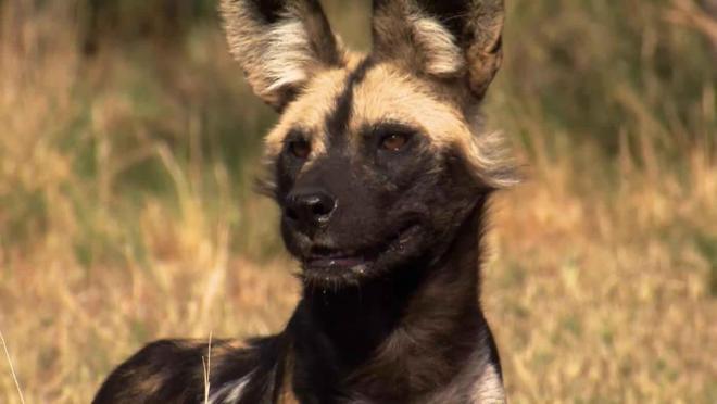 Afrika'nın Amansız Avcıları - Keskin Dişler (Africas Deadliest - Faangs That Kill )   Belgesel
